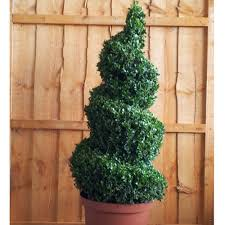 box topiary spiral buxus sempervirens topiary spiral