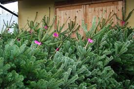 full range of christmas trees now in at smiths northampton
