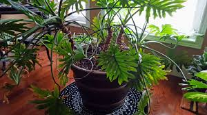 transplanting a lacy tree philodendron u2013 how and when to repot