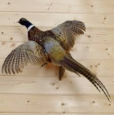 flying ringneck pheasant taxidermy mount safariworks taxidermy sales