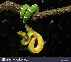 green boa snake stock photos u0026 green boa snake stock images alamy