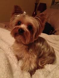 haircuts for yorkies with thin hair e responsible healthy loving and forever homes if we get involved