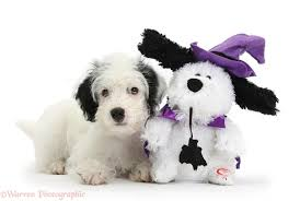 halloween background puppys jack a poo pup with halloween toy dog photo wp34593