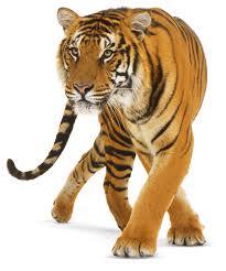types of big cats big cat breeds dk find out