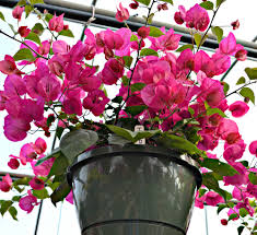 hanging basket plants for sun top 5 hanging baskets for sun fairview garden center