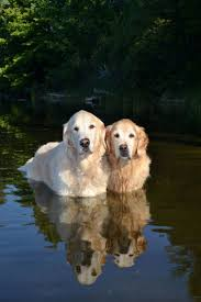 happy thanksgiving best friend 7489 best i love golden retrievers images on