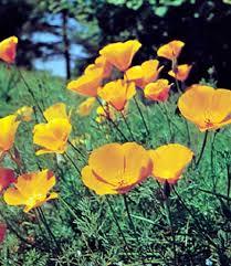 California Poppy California Poppy Description U0026 Facts Britannica Com