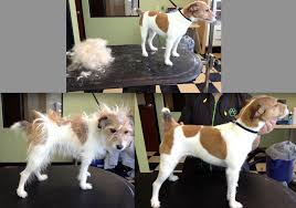 before and after of a hand stripped jack russell dog grooming