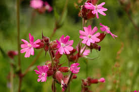 native plants uk what u0027s in your northern ireland wild flower seed mix grow wild