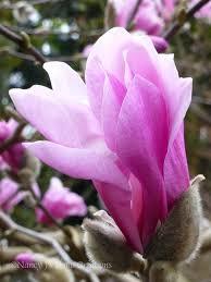 482 best magnolias images on pinterest magnolia trees beautiful