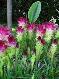 spectacular gingers u0026 other amazing exotic plants rare plants hedychium coccinea u0027tara u0027 hedychium coccinea u0027tara