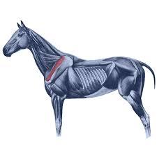 Innervation Of Supraspinatus Equine Supraspinatus Muscle Horse Curator