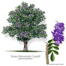 Tree With Purple Flowers Tree Species Available Through Treefolks Neighborwoods U2013 Treefolks