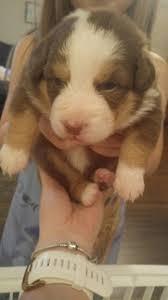6 week australian shepherd view ad australian shepherd puppy for sale massachusetts paxton