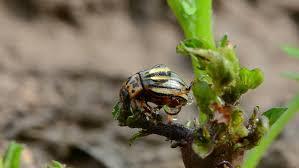 two copulating striped colorado potato beetles on potato leaves in