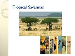 Tropical Savanna Dominant Plants - ecology the study of living things and how they interact with each