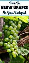 Planting Grapes In Backyard Grow Archives Reuse Grow Enjoy