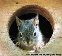 backyard birding and nature red squirrels kittens raised in a