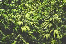 cannabis im garten vã lklingen ludweiler cannabis im garten angebaut â saarland