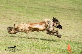 afghan hound national 2014 elegant virginia pet portraits by susan m carter photographydogs