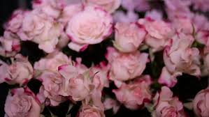 dolly shot of pink wild rose in a in flower garden stock footage