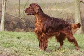 types of setter dog breeds an introduction to the setter dog breeds pets4homes