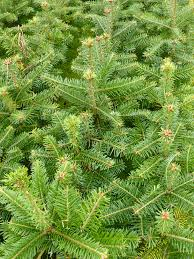 gallery scottish christmas trees