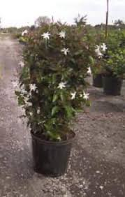 star jasmine on trellis what plants would be good for screening a window shade privacy