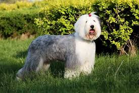 1 year old australian shepherd for sale old english sheepdog dog breed information pictures