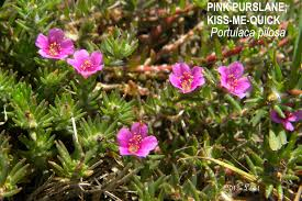 florida native plants pictures pink purslane kiss me quick portulaca pilosa what florida