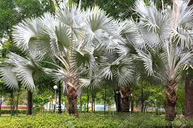 ornamental palm trees in the park stock photo picture and royalty