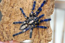 gooty ornamental poecilotheria metallica this picture ha flickr
