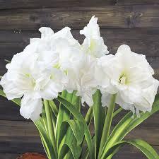 alfresco sonata amaryllis bulb gift flowers bulbs