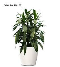 dracaena indoor plant small dracaena web buy