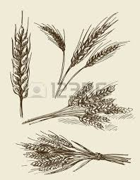 5 374 ear of corn stock illustrations cliparts and royalty free