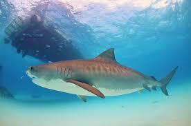 tiger shark simple english wikipedia the free encyclopedia