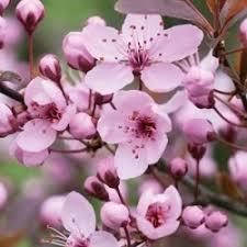 buy ornamental cherry tree prunus cerasifera nigra
