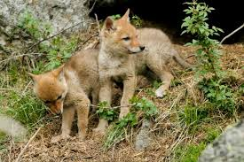 Coyote In My Backyard How To Protect Your Dogs From Coyotes
