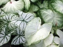 mixed white caladium bulbs