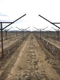 Trellis System 5 Facts About Grape And Raisin Production In California