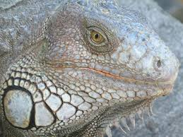 Big Lizard In My Backyard Iguana Invasion Exotic Pets Gone Wild In Florida Iguanas And