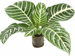 easy tips to care for calathea plant that ensure proper growth