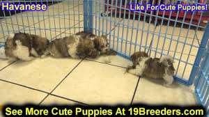havanese puppies dogs for sale in jersey city new jersey nj