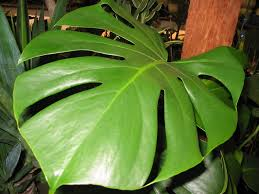 indoor tropical plants philodendron split leaf my home