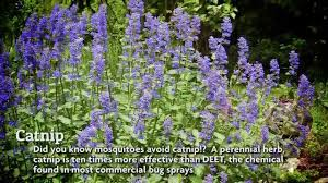 plants that keep mosquitoes away pest repelling plants for your backyard youtube