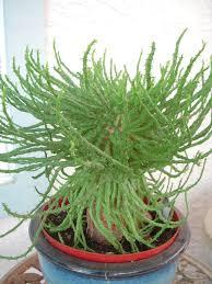 13 succulents that are native medusa u0027s head is exotic succulent