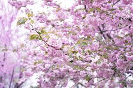 tatcha cherry blossom lip contour trio the beauty look book