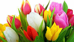 tulips flowers meaning and symbolism of tulips the wedding anniversary flowers