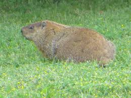 groundhog u2013 nature guelph tracking club