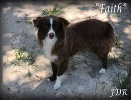6 month australian shepherd view ad miniature australian shepherd puppy for sale texas